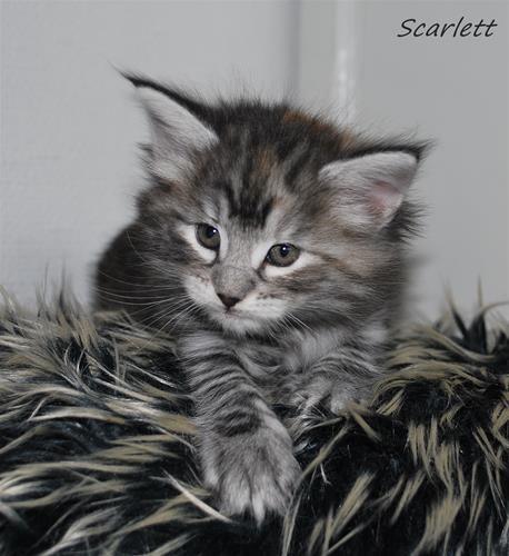 Scarlett 5v