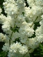 Filipendula vulgaris Multiplex Fyllt brudbröd 40 cm Juli-Aug