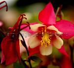 Akleja Spring Magic Dvärgaklejarosa / vit Dvärgakleja
