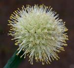 Allium Snöbollslök , ett fåtal