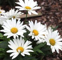 Leucanthemum superbum Western Star  Låg jätteprästkrage