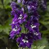 Nyhet 2019 Delphinium Delphina  Dark Blue White Bee