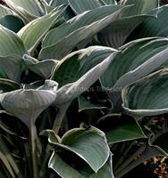 Hosta Regal Splendor Funkia, syrenlila 60–70 cm Juli–aug