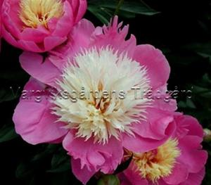 1c   Paeonia Bowl of Beautywtmk