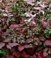 Nyhet 2017 Astilbe Beauty of Ernst 50 cm Juli-Aug