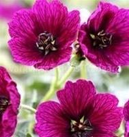 Nyhet 2017 Silkesnäva Jolly Jewel Purple. Jewelgruppen ca 15 cm Maj-Sept