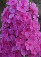 Höstflox Sweet Summer Fragrance  Ny 2019