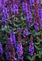Nyhet 2018 Gr. Salvia) Salvia nemorosa Caramia, Salvia