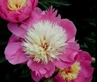 Gr. Pioner) Paeonia Bowl of Beauty. Luktpion
