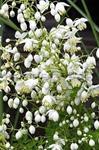 Delavayi Splendid White Violruta