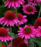 Nyhet 2018 Gr. Solhatt) Echinacea Delicious Candy. Solhatt.
