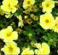 Nyhet 2018 Gr.Buskar)Potentilla fruticosa Lemon Meringue. Tok