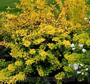 20. Berberis  11 sept