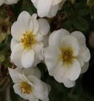Nyhet 2018 Gr.Buskar)Potentilla fruticosa Creme Brule. Tok