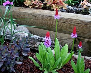 Hyacintviva 5 juni