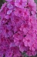 Nyhet 2019 Phlox paniculata  Sweet Summer Fragrance