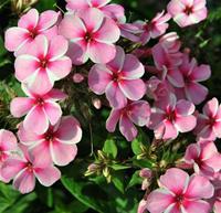 Nyhet 2019 Phlox paniculata  Early Pink Candy  Höstflox, rosa