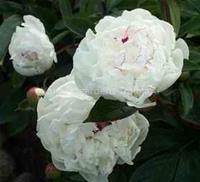 Luktpion Festiva Maxima Paeonia lactiflora 70-80 cm. Juni–Juli