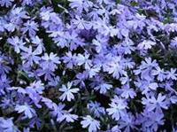 Krypflox Sweet Seduction Blue, Phlox stolonifera Maj-Juni 15 cm