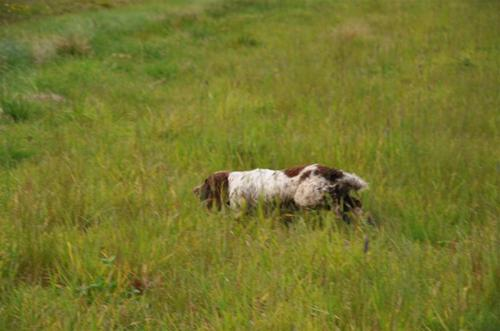 Spaniel in action