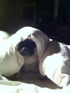 Daisy med täcke