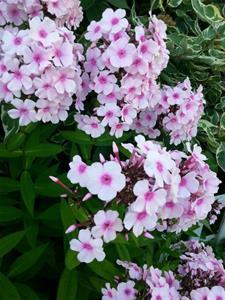 Blommor från trädgården