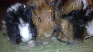 Tre små grisar. :)