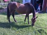 Min häst Ringa