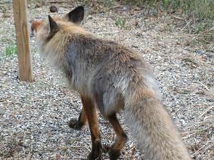 Råneträsk-räven