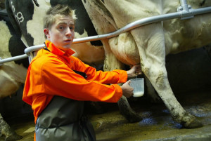 Celebrity-Farm-Mondo-Milking-Cow (1)