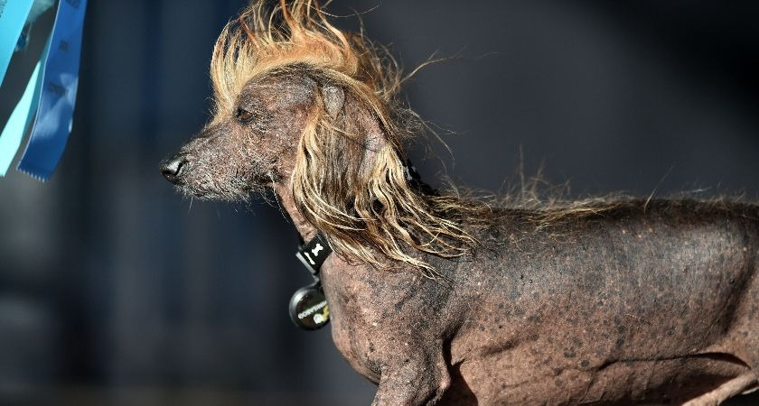 Himisaboo, the Chinese crested and dachshund mix.