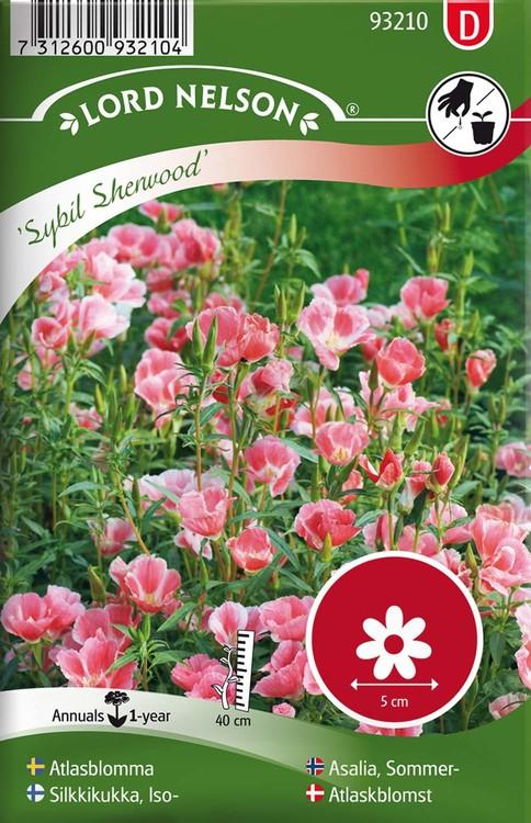 Atlasblomma, Sybil Sherwood, rosa