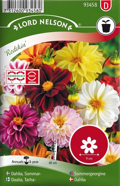Dahlia, Sommar-, Redskin, bl färger