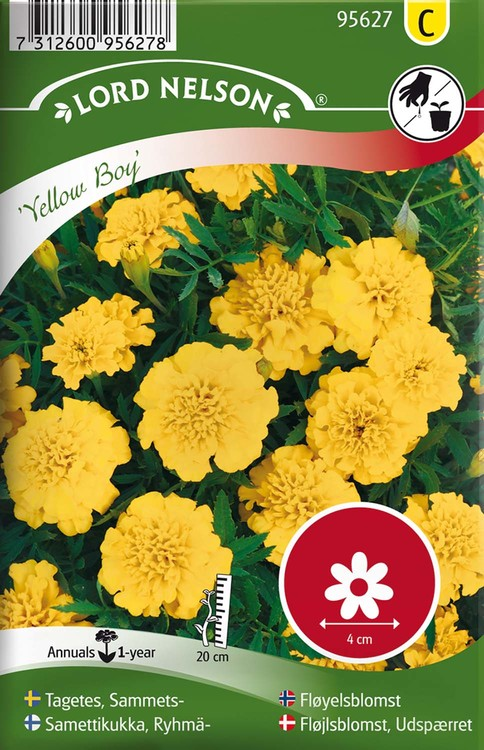 Tagetes, Sammets-, Yellow Boy