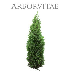 ARBORVITAE PURE ESSENTIAL OIL / REN ETERISK OLJA