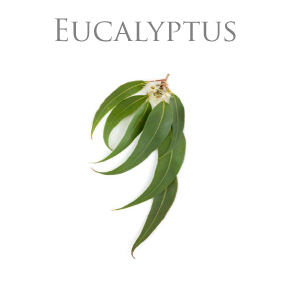 EUCALYPTUS ESSENTIAL OIL / ETERISK OLJA