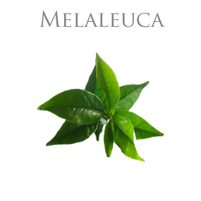 MELALEUCA PURE ESSENTIAL OIL / REN ETERISK OLJA