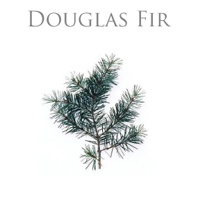 DOUGLAS FIR ESSENTIAL OIL / ETERISK OLJA