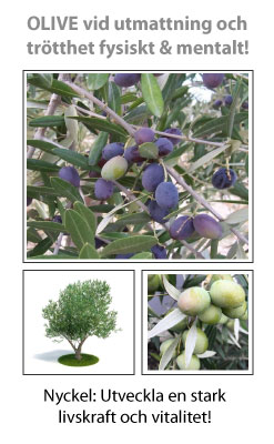 Olive (Oliv) Blomessens