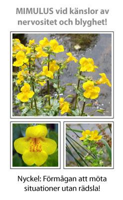 Mimulus (Gyckelblomma) Blomessens