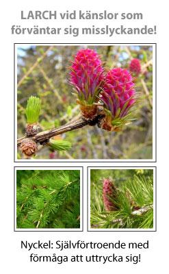 Larch (Lärkträd) Blomessens