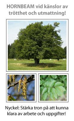 Hornbeam (Avenbok) Blomessens