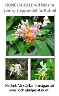 Honeysuckle (Kaprifol) Blomessens