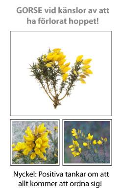 Gorse (Ärttörne) Blomessens