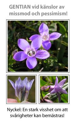 Gentian (Gentiania) Blomessens