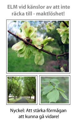 Elm (Alm) Blomessens