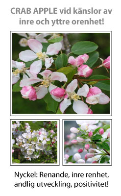 Crab Apple (Vildapel) Blomessens