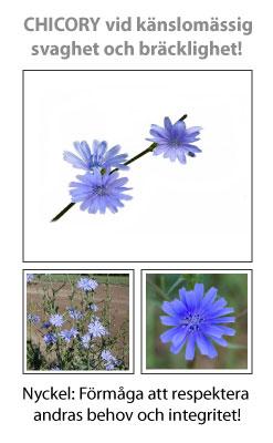 Chicory (Cikoria) Blomessens