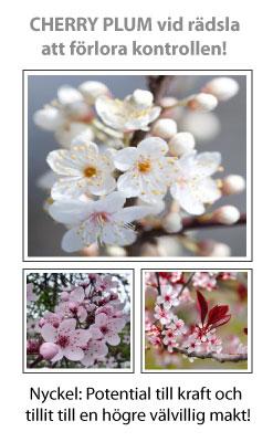 Cherry Plum (Körsbärsplommon) Blomessens