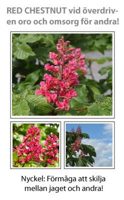 Red Chestnut (Röd kastanj) Blomessens